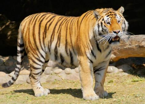 遵守约定的老虎
